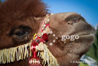 Их говийн тэмээний баярыг тэмдэглэнэ